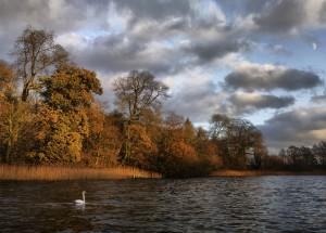 Evening Swan